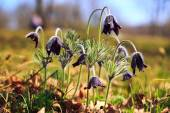 A group of Pulsatilla — Stock Photo