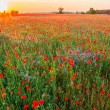 Poppies field at sunset in summer — Stock Photo #73154461