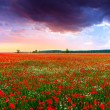 Poppies field at sunset in summer — Stock Photo #73154479