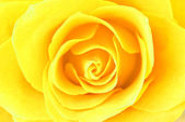 Yellow rose close-up — Stock Photo