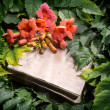 Campsis radicans flowers on old open book — Stock Photo #51977821