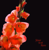Branch with flowers of red gladiolus, covered with dew — Stock Photo