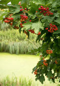 Viburnum branch with red berries over the river — Foto de Stock