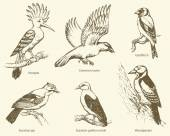 Vector set of birds: crow, hoopoe, oriole, woodpecker, jay, gold — ストックベクタ