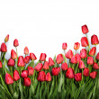 Background with red tulips — Stock Photo #71386803