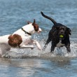 Dogs play in the water — Stock Photo #54942817