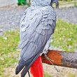 Постер, плакат: The African Grey Parrot Psittacus erithacus also known as the Grey Parrot is a parrot found in the primary and secondary rainforest of West and Central Africa