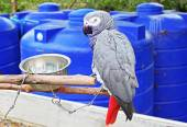 The African Grey Parrot (Psittacus erithacus), also known as the Grey Parrot, is a parrot found in the primary and secondary rainforest of West and Central Africa — Stock Photo