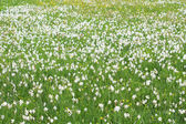 Valley of Narcissi in Khust, Ukraine - in may there are dandelions and narcissuses — Stockfoto