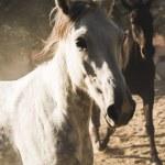 Running horses — Stock Photo #55573319