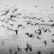 Seagulls in motion, black and white fine art image — Stock Photo #59509047