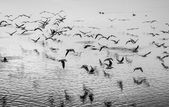 Seagulls in motion, black and white fine art image — Stock Photo