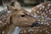 Cute spotted fallow deer — Stock Photo