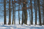 Sunset in the wood between the trees strains in winter period — Stock Photo