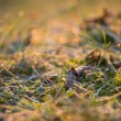 Green grass with morning frost — Stock Photo #67022853
