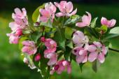 Apple flores — Fotografia Stock