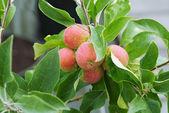 Apple trees — Stock Photo