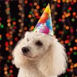 Dog party animal celebrating birthday or anniversary — Stock Photo #61909835