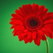Red Gerbera flower isolated on green  — Stock Photo #63834563