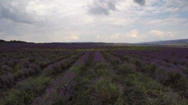 Пролетая над лавандовыми полями — Стоковое видео