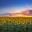 Field of blooming sunflowers on a background sunset — Stock Photo #77669948