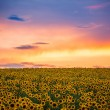 Field of blooming sunflowers on a background sunset — Stock Photo #78259206