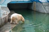 白熊 — 图库照片