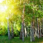 Summer birch forest — Stock Photo #57660171