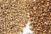 Malt grains — Stock Photo