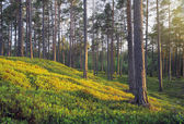 Nordic Pine Forest — Stock Photo