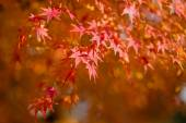 Japanese maple during autumn in Japan — Stock Photo