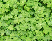 Three shamrock leaves in a clover patch — Stock Photo