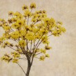 Tabebuia chrysotricha yellow flowers blossom — Stock Photo #60990761