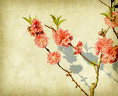 Plum blossom on old paper — Stock Photo