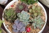 Miniature succulent plants — Stock Photo