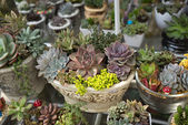 Miniature succulent plants — Stock Photo
