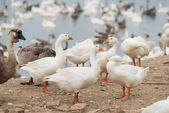 Geese at a farm — Stock Photo