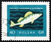 Postage stamp Poland 1958 Giant Pike Perch, Fish — Stock Photo