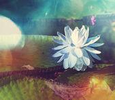 Lotus flower — Fotografia Stock