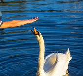 Hand and Swan — Stock Photo
