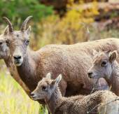 Wild goats — Stock Photo