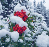 Winter berry — Stock Photo
