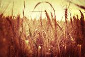 Buğday kulaklar — Stok fotoğraf