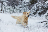 Retriever in  forest — Stock Photo