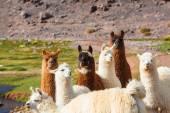 Llamas herd in Argentina — Stock Photo