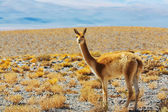 Guanaco lama in Patagonia — Stock Photo