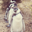Постер, плакат: Magellanic Penguins in wild nature