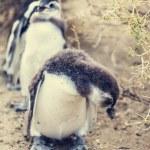 Постер, плакат: Magellanic Penguins in wild nature