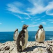 Rockhopper penguins in Argentina — Stock Photo #65428383