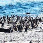 Постер, плакат: Magellanic Penguins in Argentina